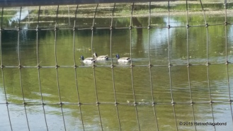 Ducks swimming in the pasture after flood irrigation