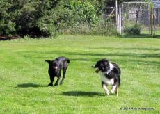 Jagger and Shasta Playing