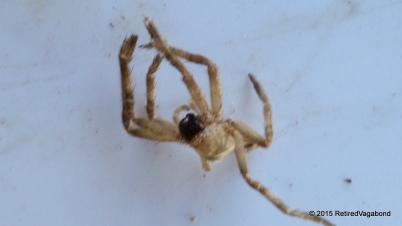 A little surprise - Crab Spider? Dead