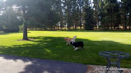 Dog Play - Finley and Jagger