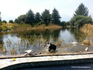 Jagger Playing in the Pond