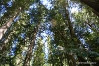 Tall Cedar Pines Reaching for the Sky